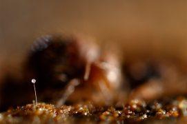 Certains collemboles déposent leurs spermatozoïdes dans des paquets directement sur le sol. Pour éviter qu'ils soient mangés, Allacma suspend ces spermatophores sur un long stylet. / © Philippe Lebeaux
