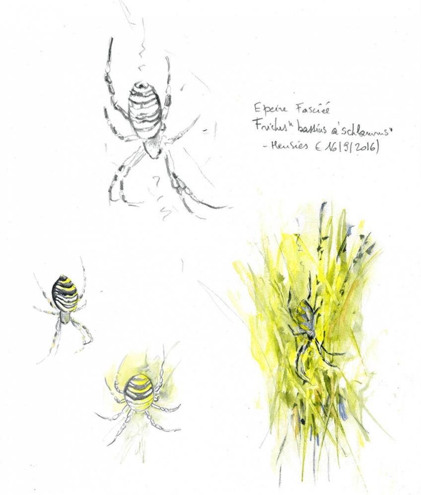 Araignée épeire fasciée par Yves Fagniart