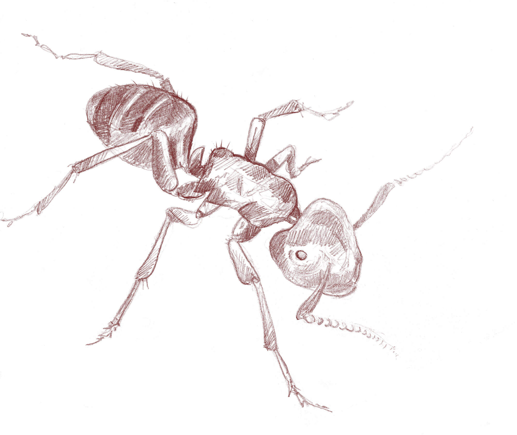 Dessin de fourmi Camponotus herculeanus