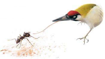 Le pic vert déploie sa longue langue pour attraper les fourmis.