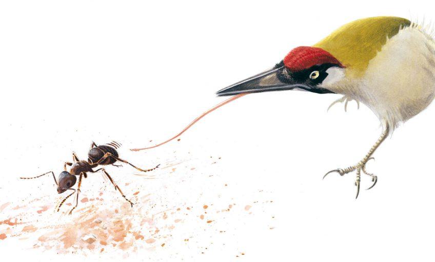 Dessin de pic vert attrapant une fourmi