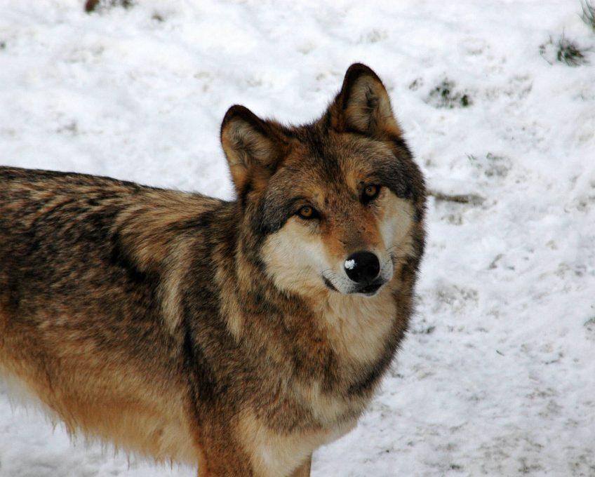 100 loups tués en France