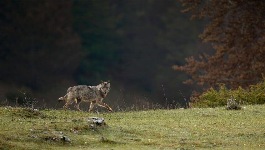 Abécédaire pour tout savoir sur le loup - La Salamandre
