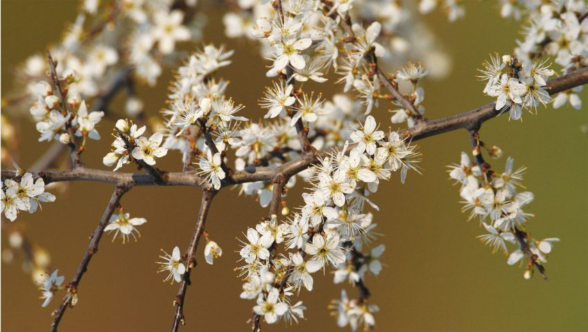 Arbre en fleur blanche