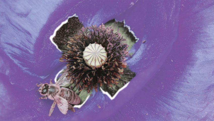 Aux yeux des abeilles, les pétales des coquelicots apparaissent non pas rouges mais ultraviolets.