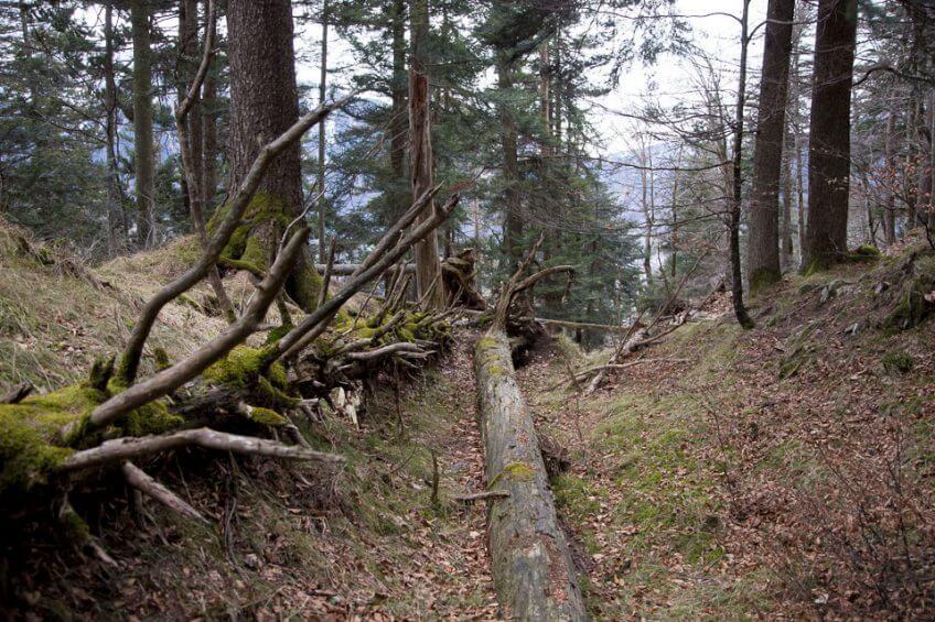 forêt tronc Reportage autour des loups du Calanda dans les Grisons - La Salamandre