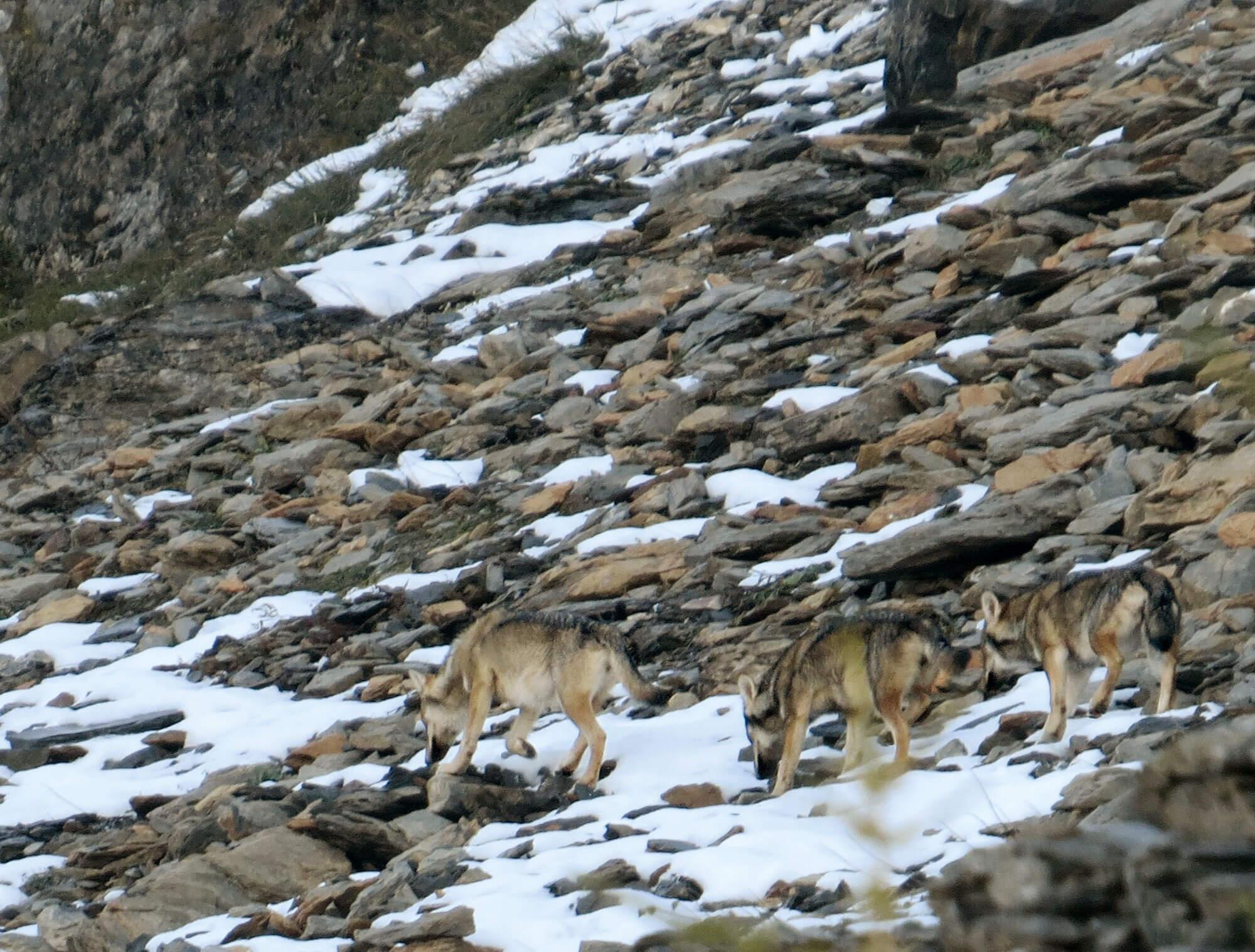 Reportage autour des loups du Calanda dans les Grisons - La Salamandre