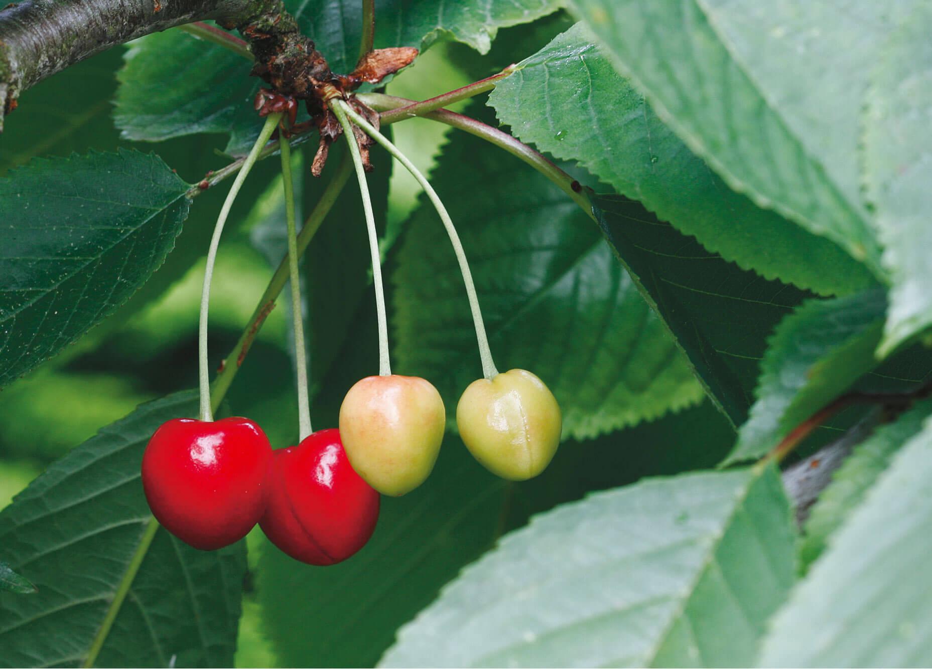 Cerise vert rouge feuille fruit