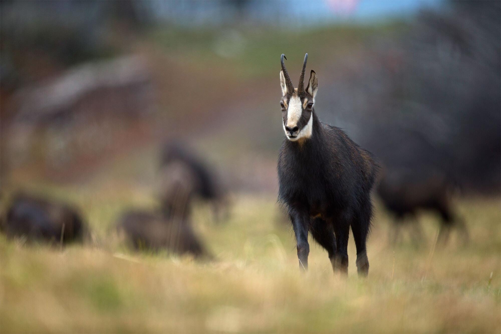 chamois Reportage autour des loups du Calanda dans les Grisons - La Salamandre