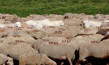 La fondation Jean-Marc Landry pour la cohabitation loup-pastoralisme loups chiens et moutons Fondation Jean-Marc Landry