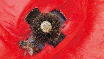 Coquelicot et abeille