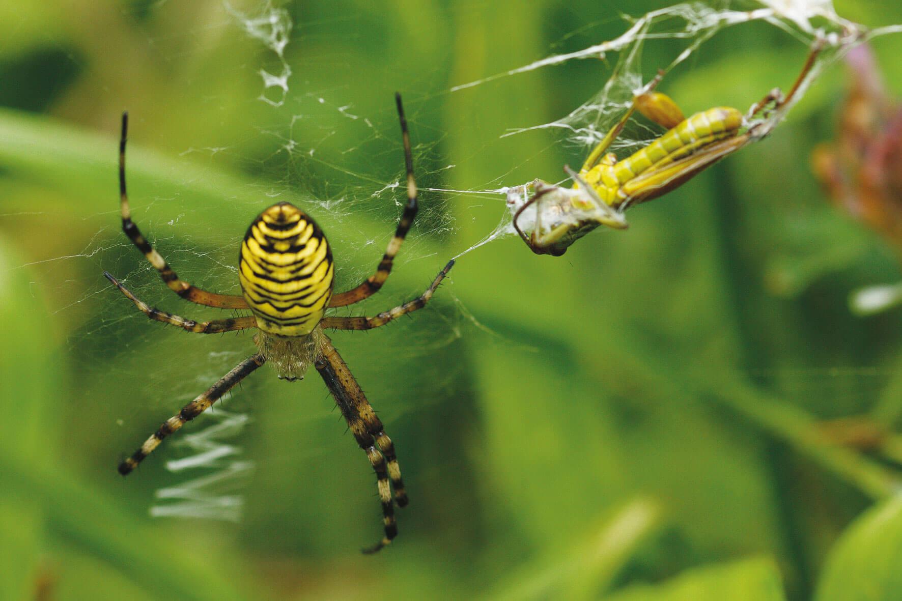 épeire araignée toile proie