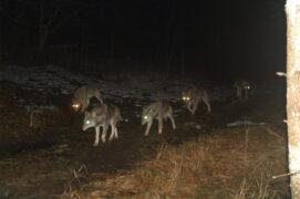 Des loups photographiés le 15/2/2014 à 19h16. / © René Gadient