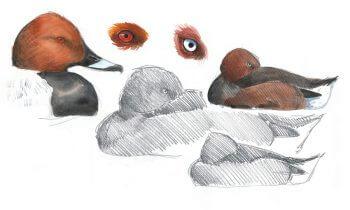 dessin-leparoux-yeux