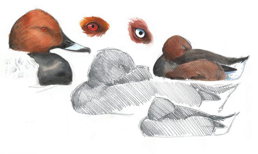 canards yeux dans les yeux Leparoux
