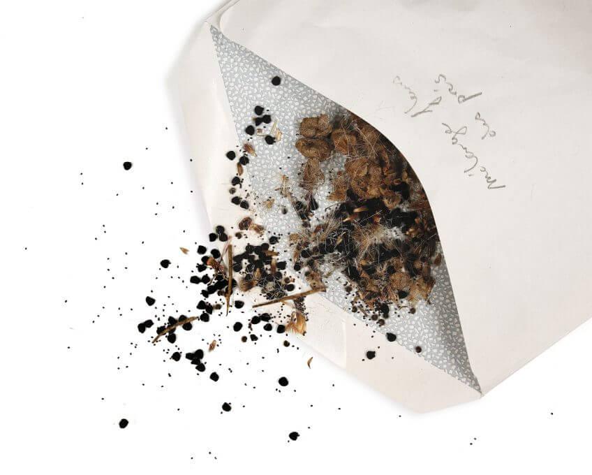 graine semence enveloppe fleur sauvage
