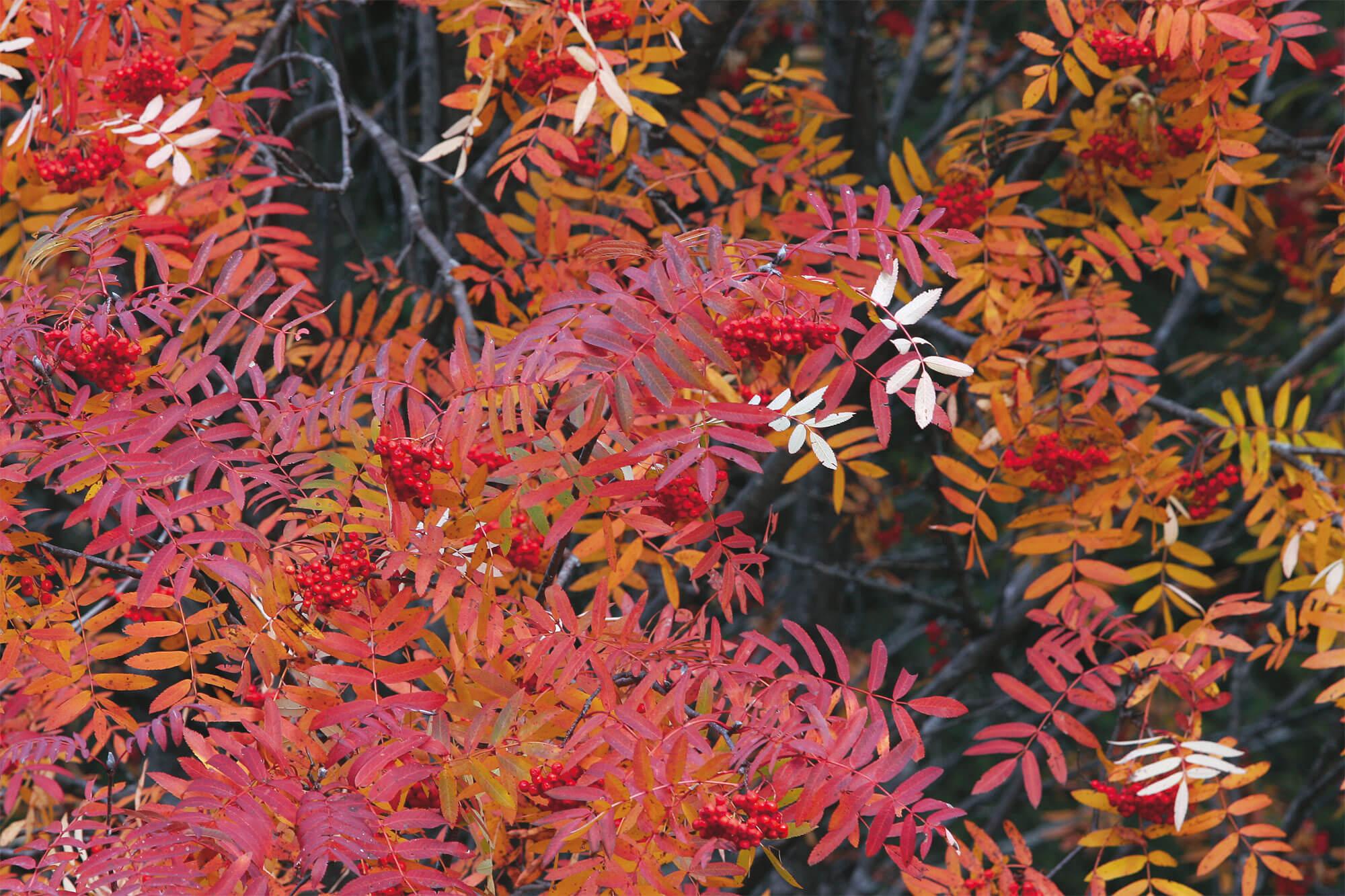 Feuilles sans chlorophylle, en automne rouge fruit baie