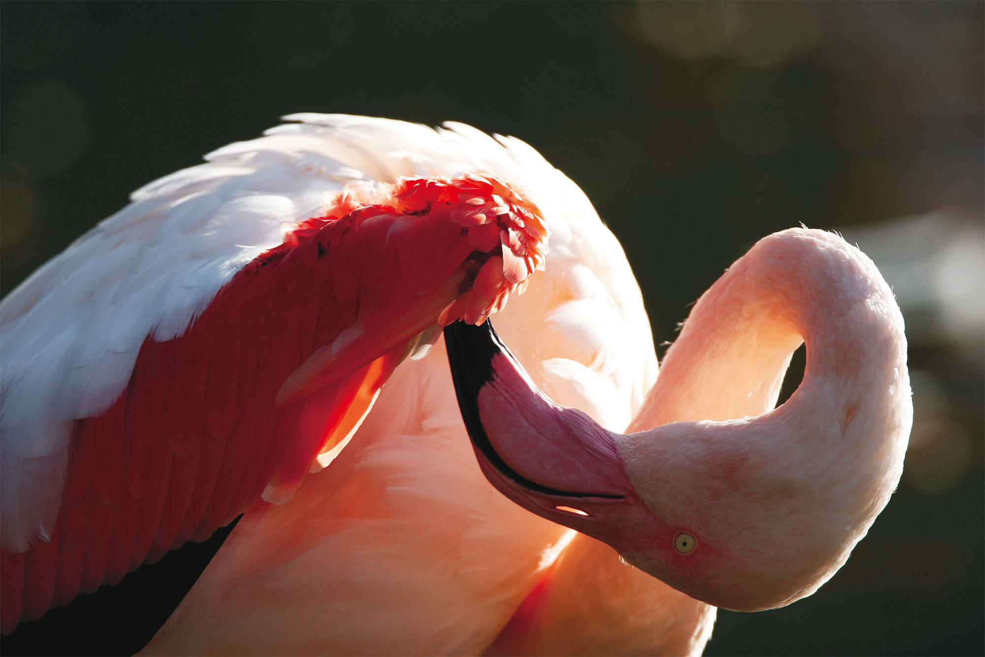 Flamant rose ombre