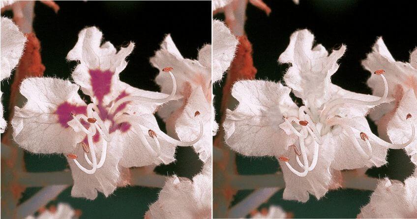 Fleur de marronnier fécondée vue par les humains à gauche, et par les insectes à droite. Les tâches devenues rouges ne sont pas visibles par les butineurs.