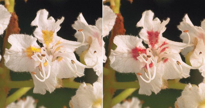 Fleur de marronnier non fécondée vue par les humains à gauche, et par les insectes à droite.