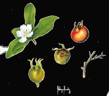 Frédérique Fernandez dessin néflier nèfles fleurs fruits