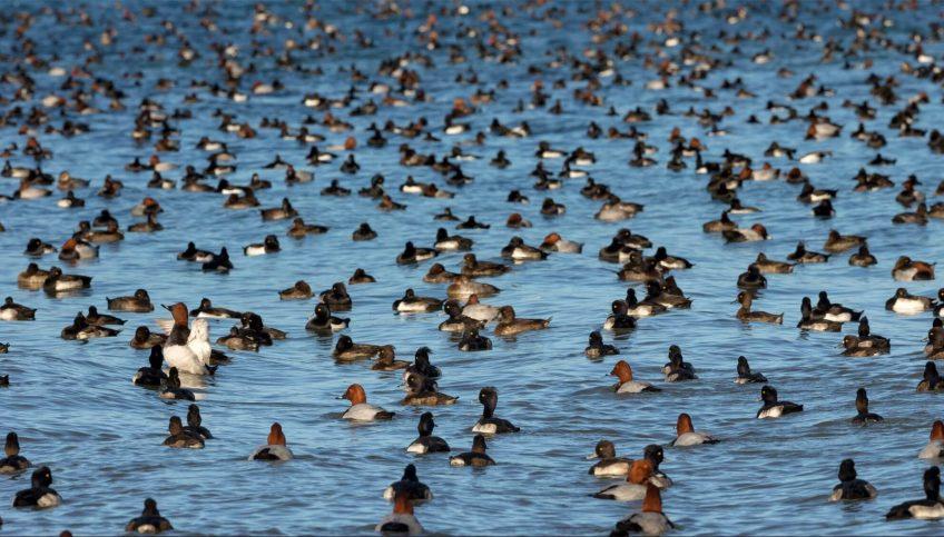 Fuligules milouins et morillons en hivernage sur le lac de Neuchâtel Suisse canards