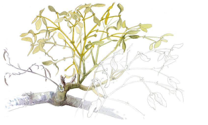 Du gui au milieu des branchages - La Salamandre dessin gui en feuille