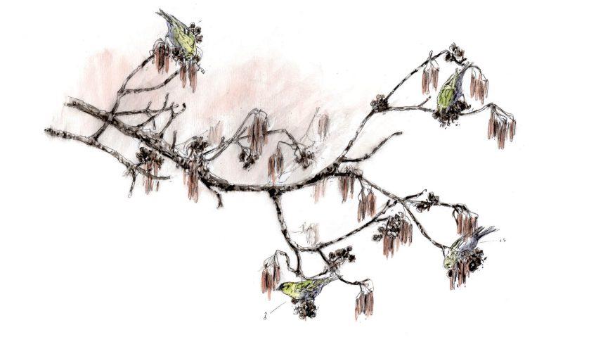 Un cirque de tarins des aulnes - La Salamandre dessin tarin des aulnes
