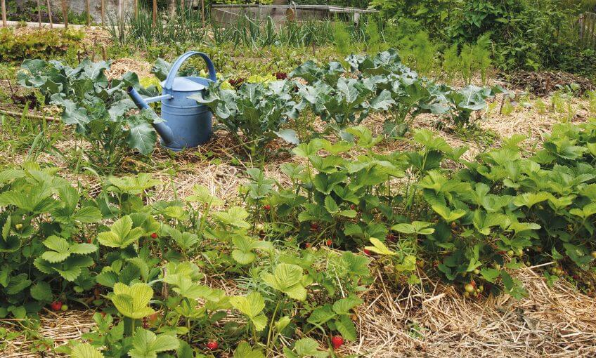 jardin naturel fraisier arrosoir