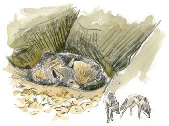 Quand un loup débarque en pleine ville de Paris - La Salamandre dessin Tsunehiko Kuwabara loup