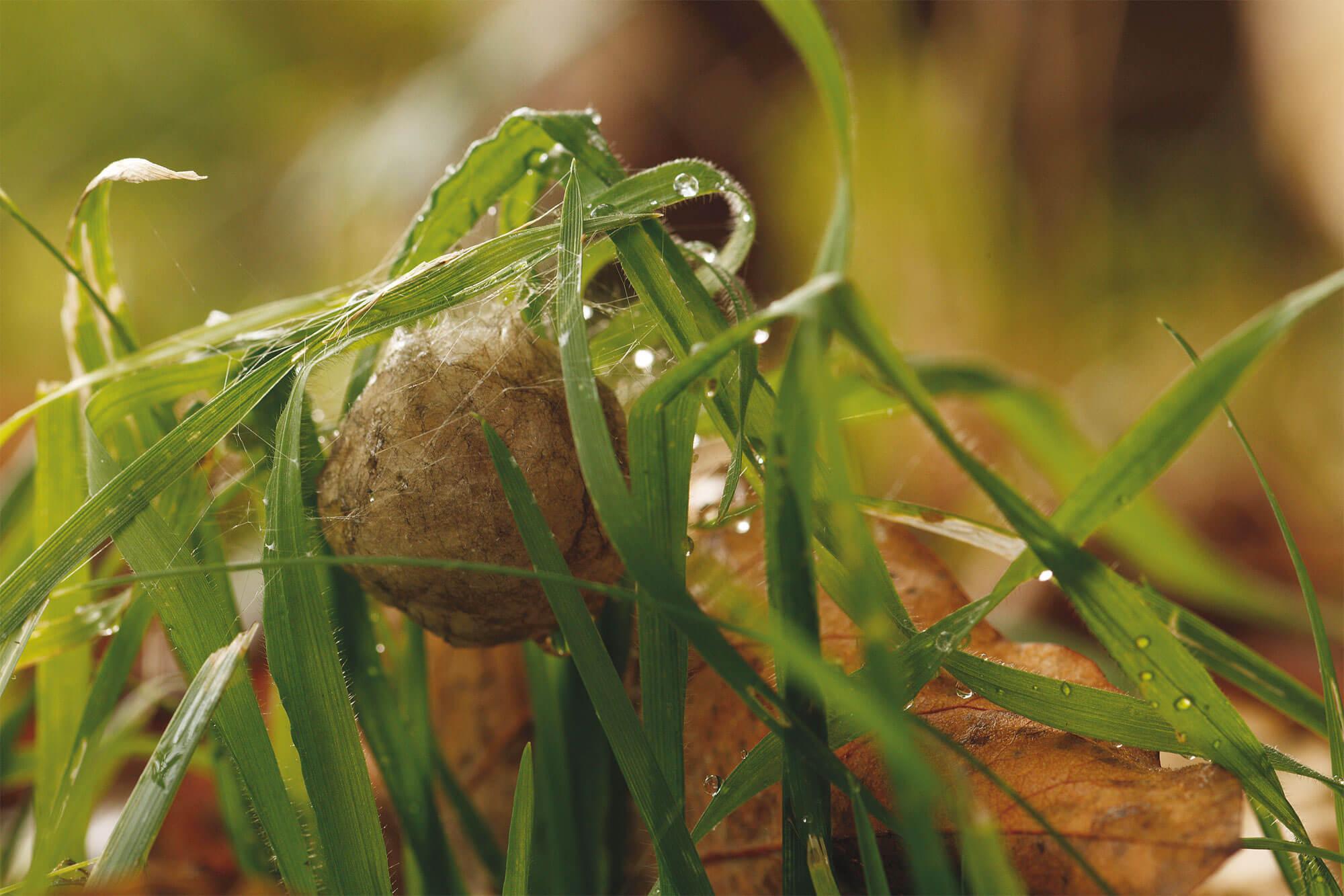 épeire fasciée enrobe ses œufs d'un cocon