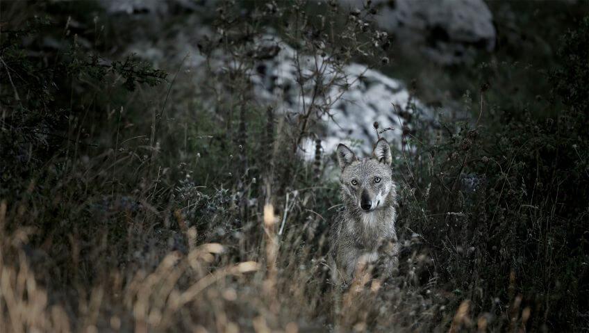 Abécédaire pour tout savoir sur le loup - La Salamandre Abécédaire pour tout savoir sur le loup - La Salamandre