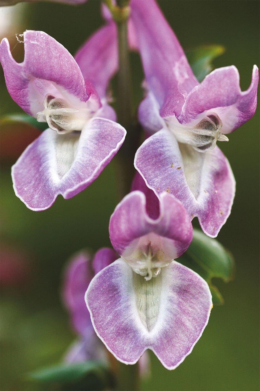 fleur corydale violette