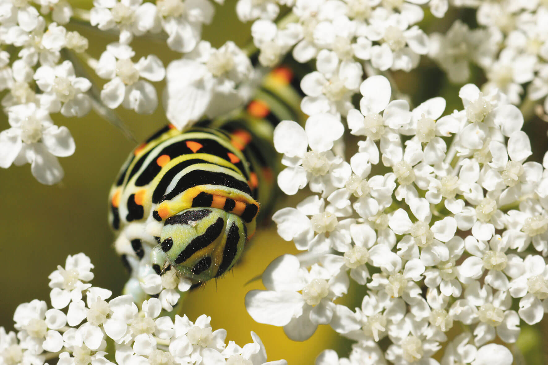 machaon fleur blanche