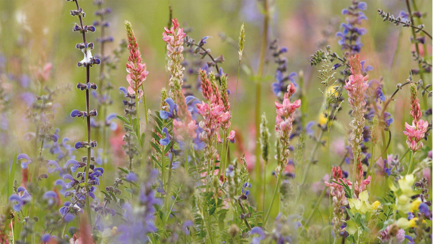 Offrons une place aux fleurs sauvages dans nos jardins for Fleurs de nos jardins