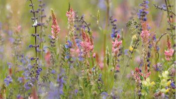 Les sauges, les esparcettes et les rhinanthes s'invitent volontiers dans le jardin si la terre n'est pas trop fertile. Une belle récompense pour qui sait être patient!