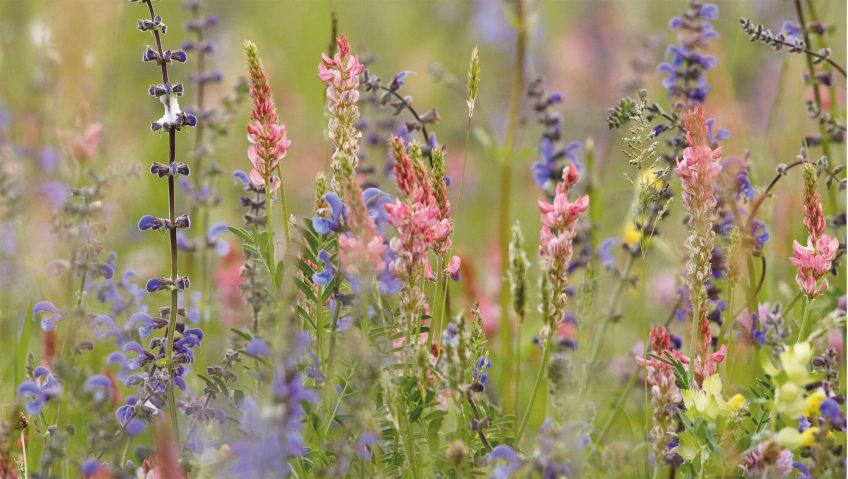 fleur sauvage prairie sauge esparcette rhinanthe
