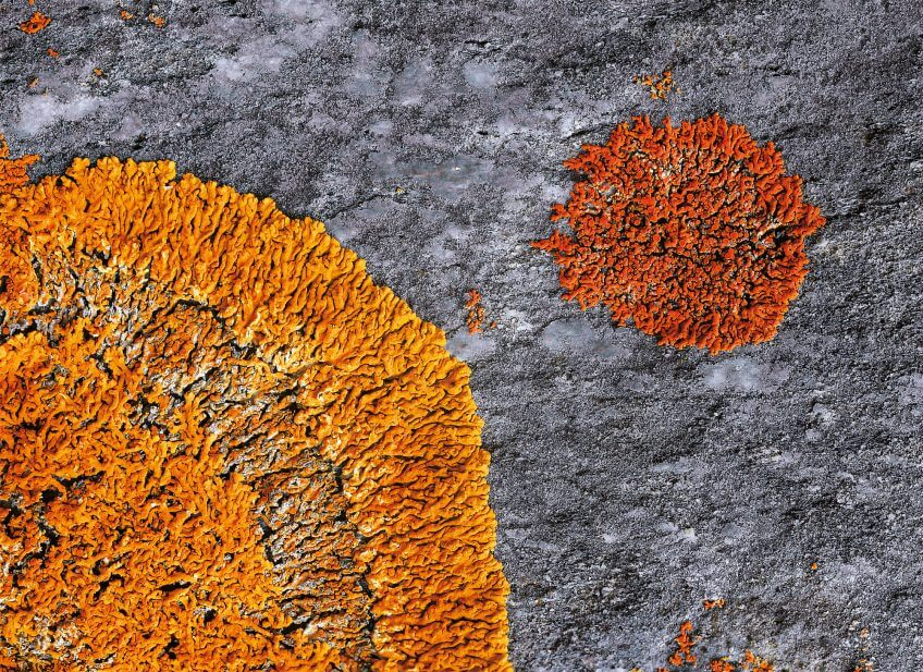Lichens rouge jaune orange