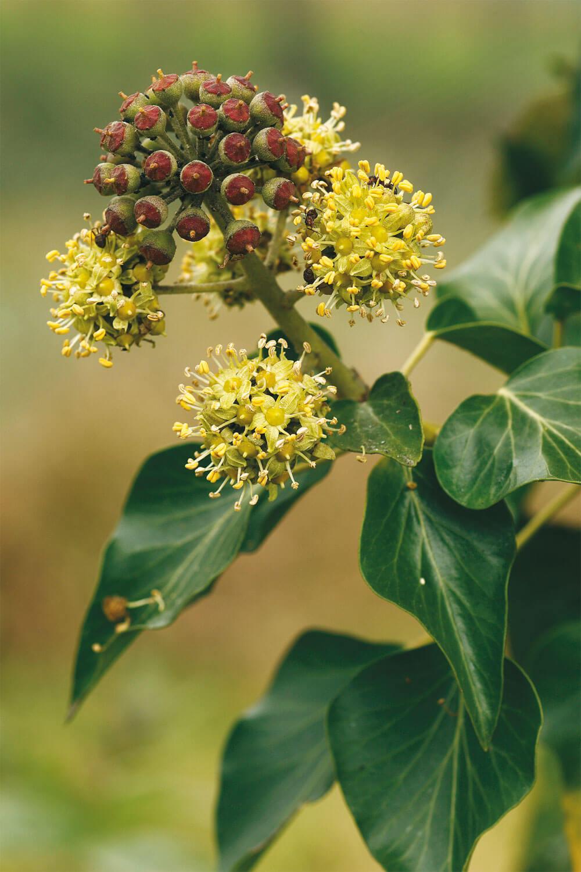 Lierre fleur fruit