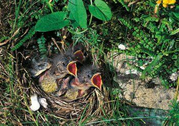Poussins de bruant jaune nid oisillons