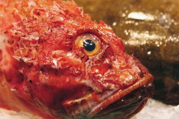 Rascasse poisson oeil rouge