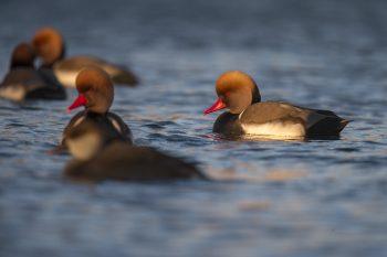 Coulisses d'un comptage d'oiseaux d'eau sur les rives du lac de Neuchâtel - La Salamandre