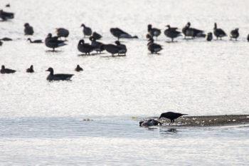 recensement-oiseaux-eau-8