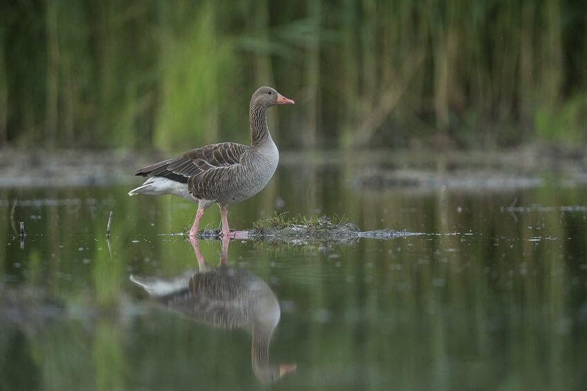recensement-oiseaux-eau-9