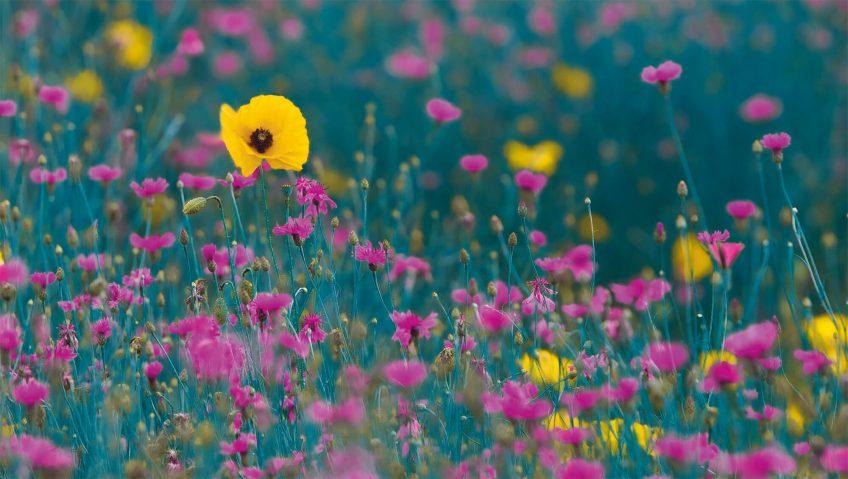 coquelicot jaune herbe rose bleuet rouge perception