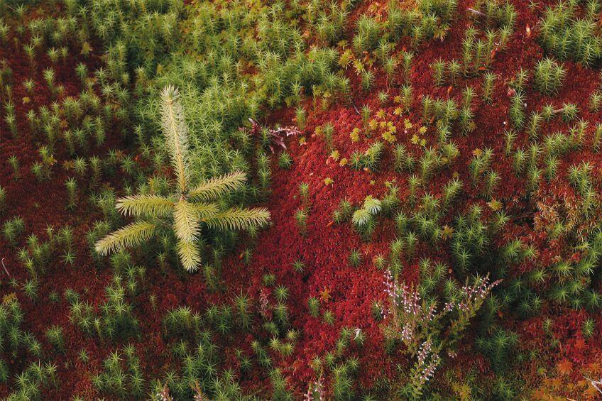 Sphaigne de Magellan, une mousse terre rouge