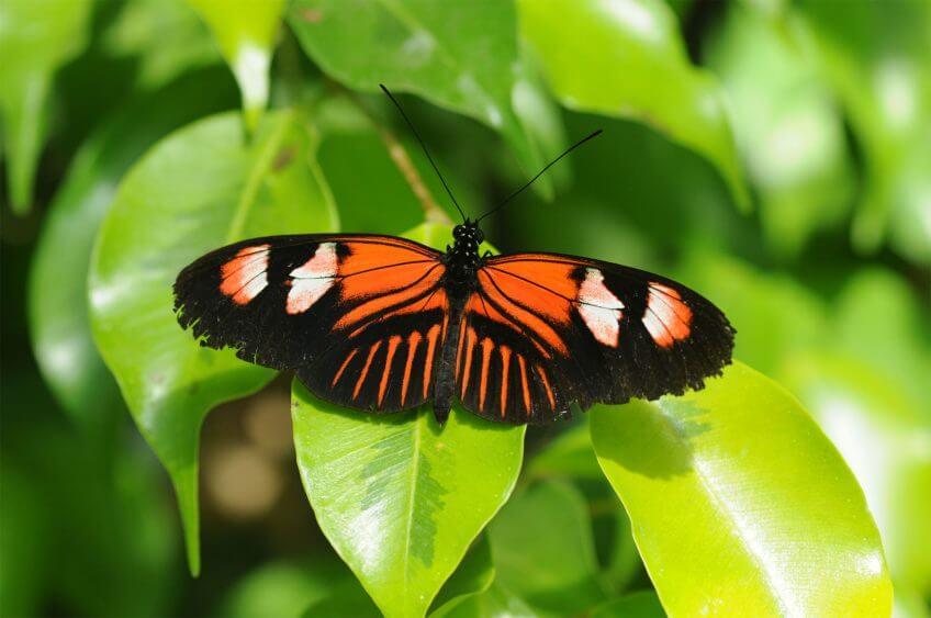 Heliconius amazonien papillon toxique