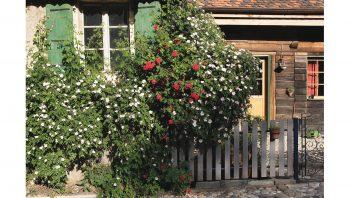 Utilisé comme porte-greffe, l'églantier sauvage a pris le dessus sur le rosier ancien greffé sur sa tige.