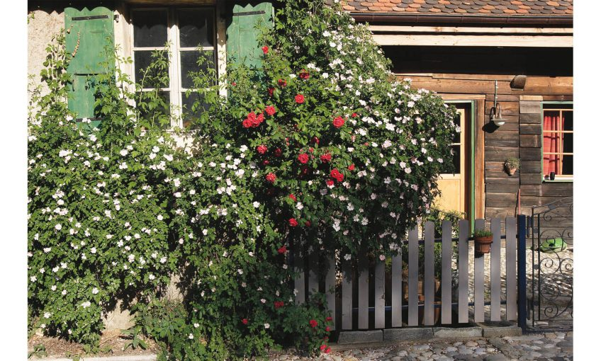églantier sauvage rosier ancien