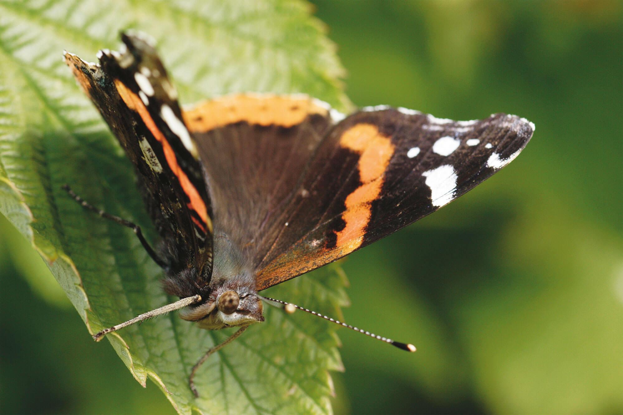 Vulcain papillon